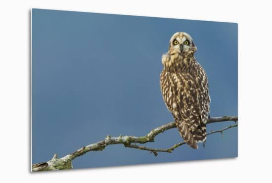 Short-Eared Owl-Ken Archer-Metal Print