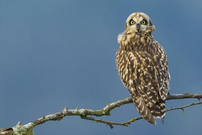 Short-Eared Owl-Ken Archer-Photographic Print