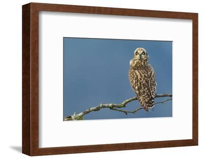 Short-Eared Owl-Ken Archer-Framed Photographic Print