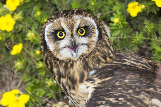 Short-Eared Owl-Lynn M^ Stone-Photographic Print