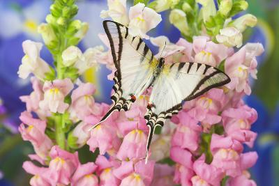 Short-Lined Kite Swallowtail Butterfly, Eurytides Agesilaus Autosilaus-Darrell Gulin-Photographic Print