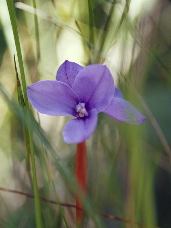 https://imgc.artprintimages.com/img/print/short-purple-flag-patersonia-fragilis-emerges-into-a-sun-ray-yellingbo-nature-reserve-australia_u-l-p2yqm90.jpg?p=0