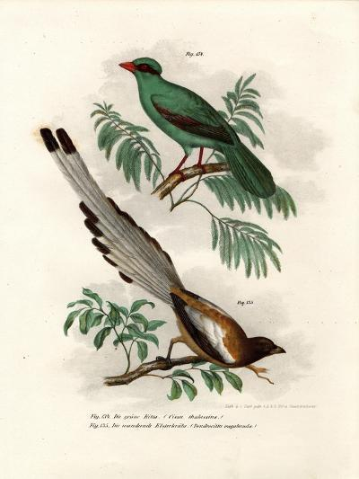 Short-Tailed Green Magpie, 1864--Giclee Print