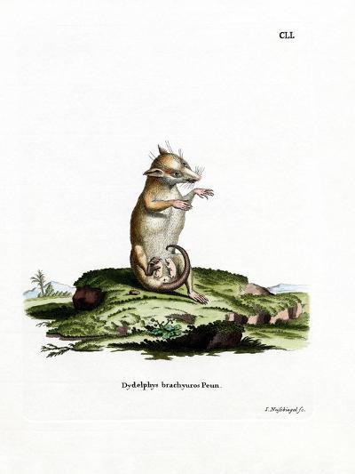 Short-Tailed Opossum--Giclee Print