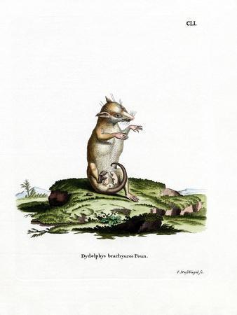 https://imgc.artprintimages.com/img/print/short-tailed-opossum_u-l-pvqcwe0.jpg?p=0