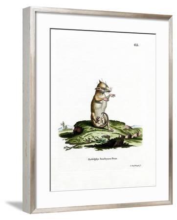 Short-Tailed Opossum--Framed Giclee Print