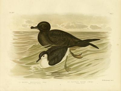 Short-Tailed Petrel, 1891-Gracius Broinowski-Giclee Print