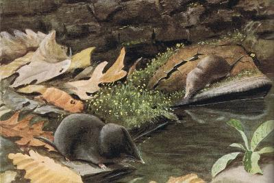 Short Tailed Shrew and Common Shrew-Louis Agassiz Fuertes-Giclee Print