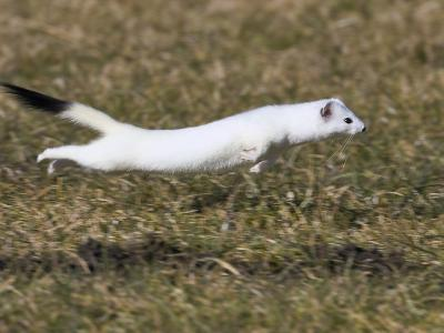 Short-Tailed Weasel (Mustela Erminea) Running, Bavaria, Germany-Konrad Wothe-Photographic Print