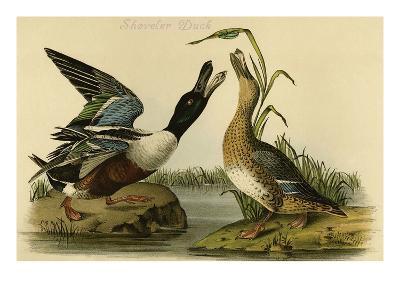 Shoveler Duck-John James Audubon-Art Print