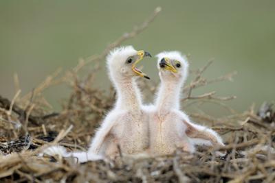 Steppe Eagle (Aquila Nipalensis) Chicks, Cherniye Zemli Nature Reserve, Kalmykia, Russia, May by Shpilenok