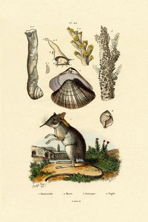 Shrew, 1833-39--Giclee Print