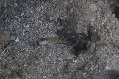 Shrimp Goby Stands Guard at the Entrance of its Hole, Fiji-Stocktrek Images-Photographic Print