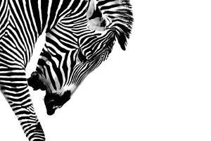 Striped Stallion by SHS Photography