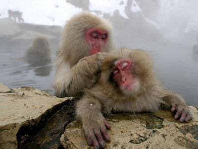 Japanese Macaque Monkeys Groom Each Other