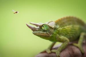 Hoverfly Flying Past a Jackson's Chameleon (Trioceros Jacksonii) by Shutterjack