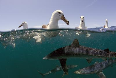 Shy Albatros (Thalassarche Cauta) Swimming At Surface With Blue Sharks (Prionace Glauca) Below-Chris & Monique Fallows-Photographic Print