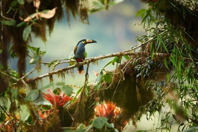 Shy High Altitude Andean Colorful Plate-Billed Mountain Toucan Andigena Laminirostris Perched on Mo-Martin Mecnarowski-Photographic Print