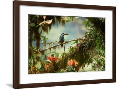 Shy High Altitude Andean Colorful Plate-Billed Mountain Toucan Andigena Laminirostris Perched on Mo-Martin Mecnarowski-Framed Photographic Print