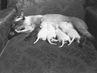 Siamese Cat Feeding Kittens-George Marks-Photographic Print