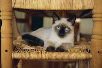 Siamese Cat Lounging on Dining Room Chair-DLILLC-Photographic Print