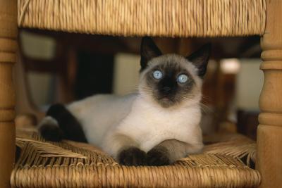 Siamese Cat on Chair-DLILLC-Photographic Print