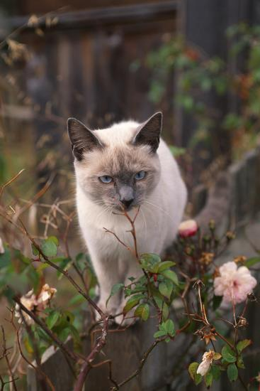 Siamese Cat on Fence Smelling Flowers-DLILLC-Photographic Print