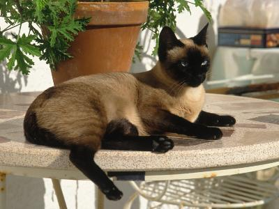 Siamese Cat Resting on Table Top-Gareth Rockliffe-Photographic Print