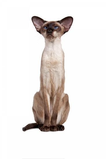 Siamese Cat-Fabio Petroni-Photographic Print