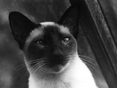 Siamese Cat--Photographic Print