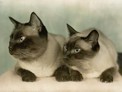 Siamese Cats-Willard Culver-Photographic Print