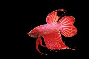 Siamese Fighting Fish Red Form Male, Full Display