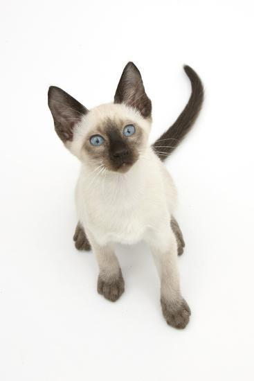 Siamese Kitten, 10 Weeks, Looking Up-Mark Taylor-Photographic Print