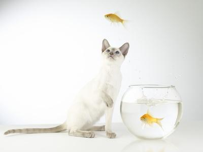 Siamese kitten with jumping goldfish-Steve Lupton-Photographic Print