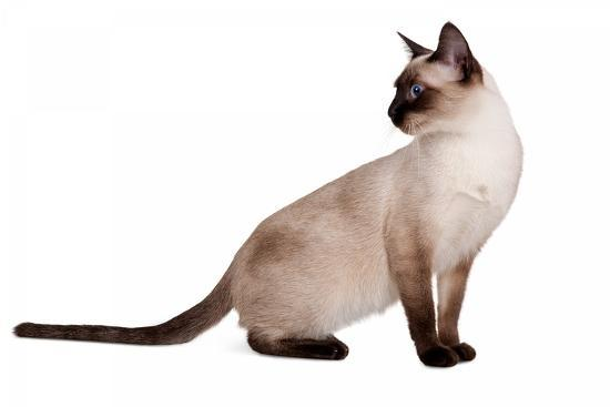 Siamese Thai Cat-Fabio Petroni-Photographic Print