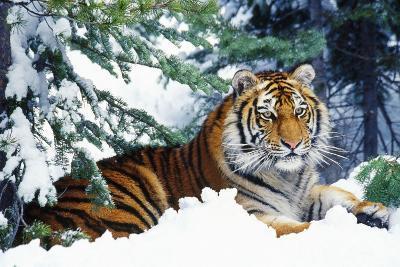 Siberian Amur Tiger Lying in Snow--Photographic Print