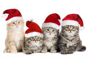 Siberian Cat Kittens in Christmas Hats