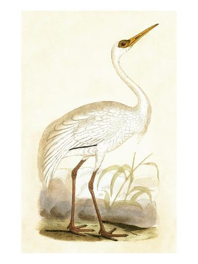 Siberian Crane,  from 'A History of the Birds of Europe Not Observed in the British Isles'-English-Giclee Print