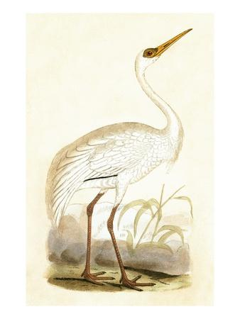 https://imgc.artprintimages.com/img/print/siberian-crane-from-a-history-of-the-birds-of-europe-not-observed-in-the-british-isles_u-l-pg88w10.jpg?p=0