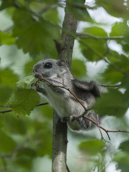 Siberian Flying Squirrel (Pteromys Volans) Baby Feeding On Leaves, Central Finland, June-Jussi Murtosaari-Photographic Print