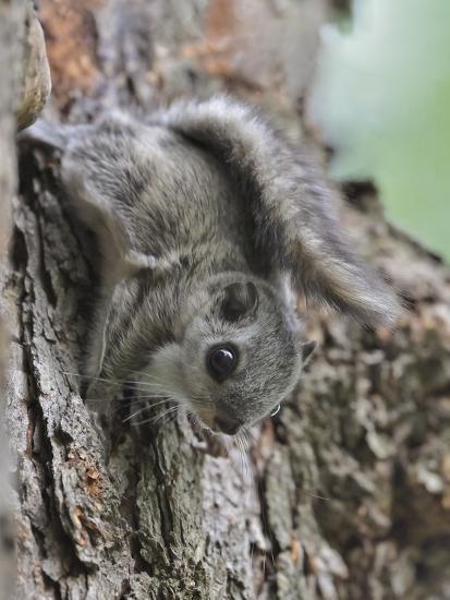 Siberian Flying Squirrel (Pteromys Volans) Juvenile, Central Finland, June-Jussi Murtosaari-Photographic Print