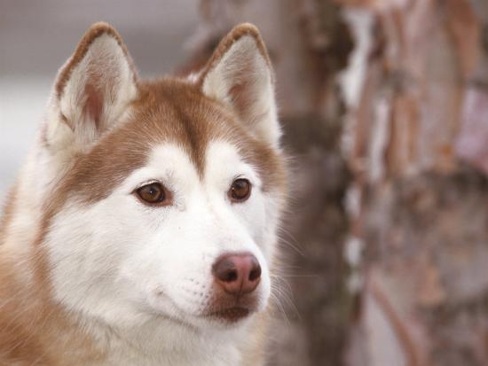Siberian Husky Portrait, USA Photographic Print by Lynn M  Stone   Art com