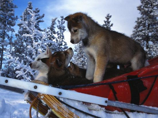 Siberian Husky Puppies Play on a Snow Sled-Nick Norman-Photographic Print