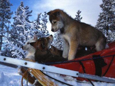 https://imgc.artprintimages.com/img/print/siberian-husky-puppies-play-on-a-snow-sled_u-l-p8ftmd0.jpg?p=0