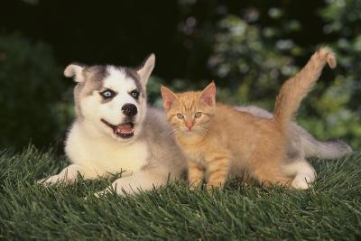 Siberian Husky Puppy and Kitten-DLILLC-Photographic Print