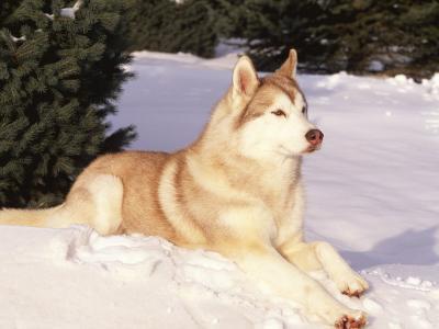 Siberian Husky Resting in Snow, USA-Lynn M^ Stone-Photographic Print