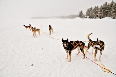 Siberian Husky Sled Dogs Wearing Sled Harnesses Wait to Pull a Sled Over a Frozen Lake-Lola Akinmade Akerstrom-Photographic Print