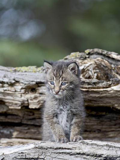 Siberian Lynx Kitten, Sandstone, Minnesota, USA-James Hager-Photographic Print