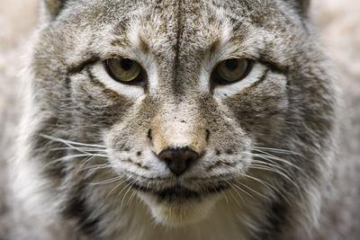 https://imgc.artprintimages.com/img/print/siberian-lynx-lynx-lynx-wrangeli-portrait-broached-wildlife_u-l-q11vdth0.jpg?p=0