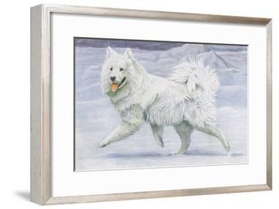 Siberian Reindeer Dog or Samoyed--Framed Giclee Print